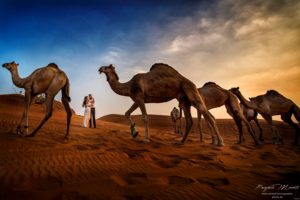 Photo Wedding desert camels Dubai Arab Emirates